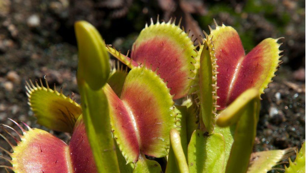 Hojas de la Venus Atrapamoscas verdes y rojas